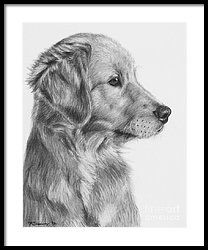 Golden Retriever Puppy In Charcoal One By Kate Sumners Dog Art