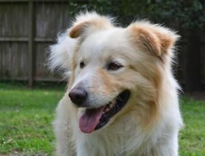 Adopt Zeus On With Images Great Pyrenees Cute Dogs Retriever Mix