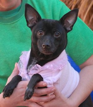 rosiechifeb14 Mellow young lady, pretty Chihuahua, spayed, 1 year. She delights in being pampered and adored.She enjoys other dogs.  A gentle home is ideal.