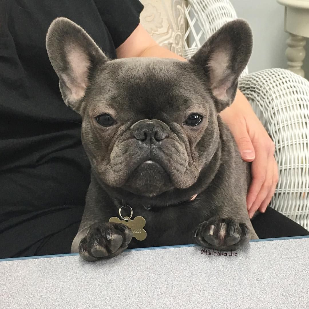 Lola The French Bulldog Buldog With Images Cute French