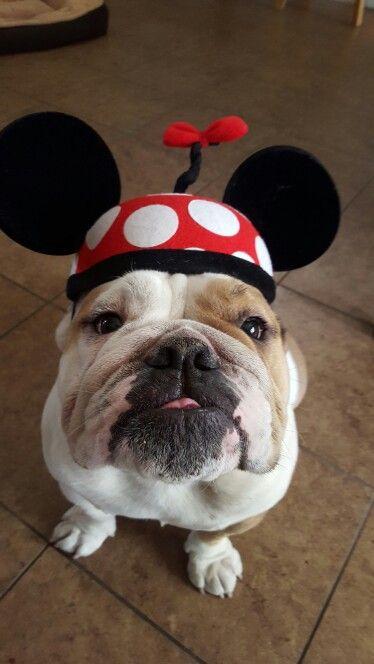 English bulldog cutie♡