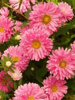 Aster Flower Care Flower Care Aster Flower Birth Month Flowers