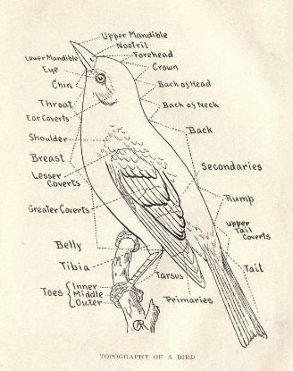 Wonderful drawing of a bird identifying the parts of their anatomy ...