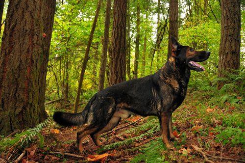 Our Sires German Shepherd Puppies For Sale Oregon Breeder