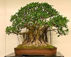 Image Result For Wild Fig Bonsai Bonsai Tree Types Bonsai Tree Bonsai Art
