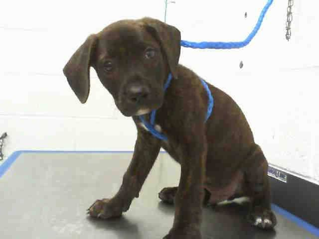 WILFRED (A1646741) I am a male brown brindle Labrador Retriever mix.  The shelter staff think I am about 13 weeks old.  I was found as a stray and I may be available for adoption on 09/23/2014. — hier: Miami Dade County Animal Services. https://www.facebook.com/urgentdogsofmiami/photos/pb.191859757515102.-2207520000.1411464869./844150132286058/?type=3&theater