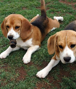 English Foxhound Breed Info Pictures Characteristics