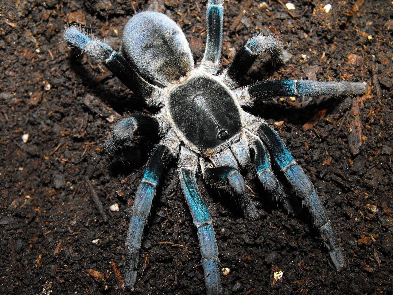 "The Bug Girl — ""My Haplopelma lividum Cobalt Blue"