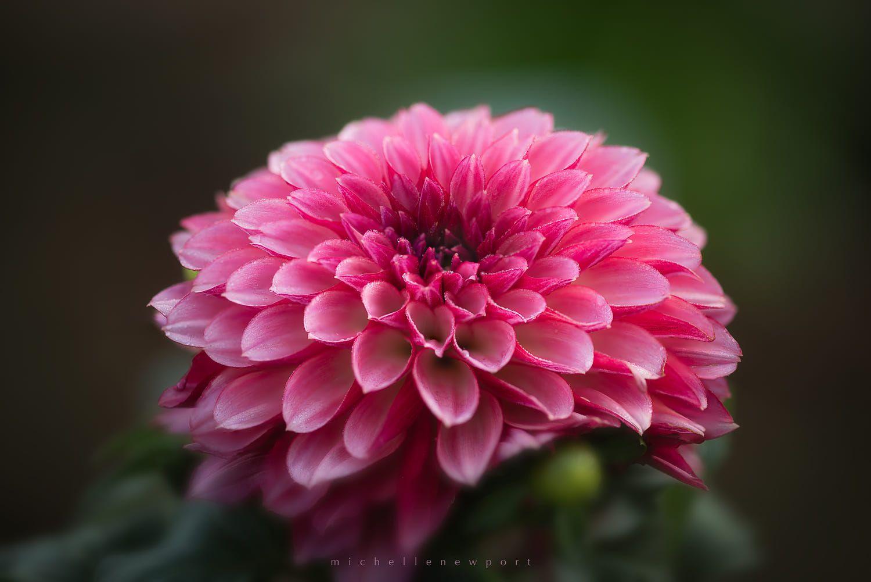 Dahlia Beauty Flowers Photography Pink Flowers Dahlia Flower