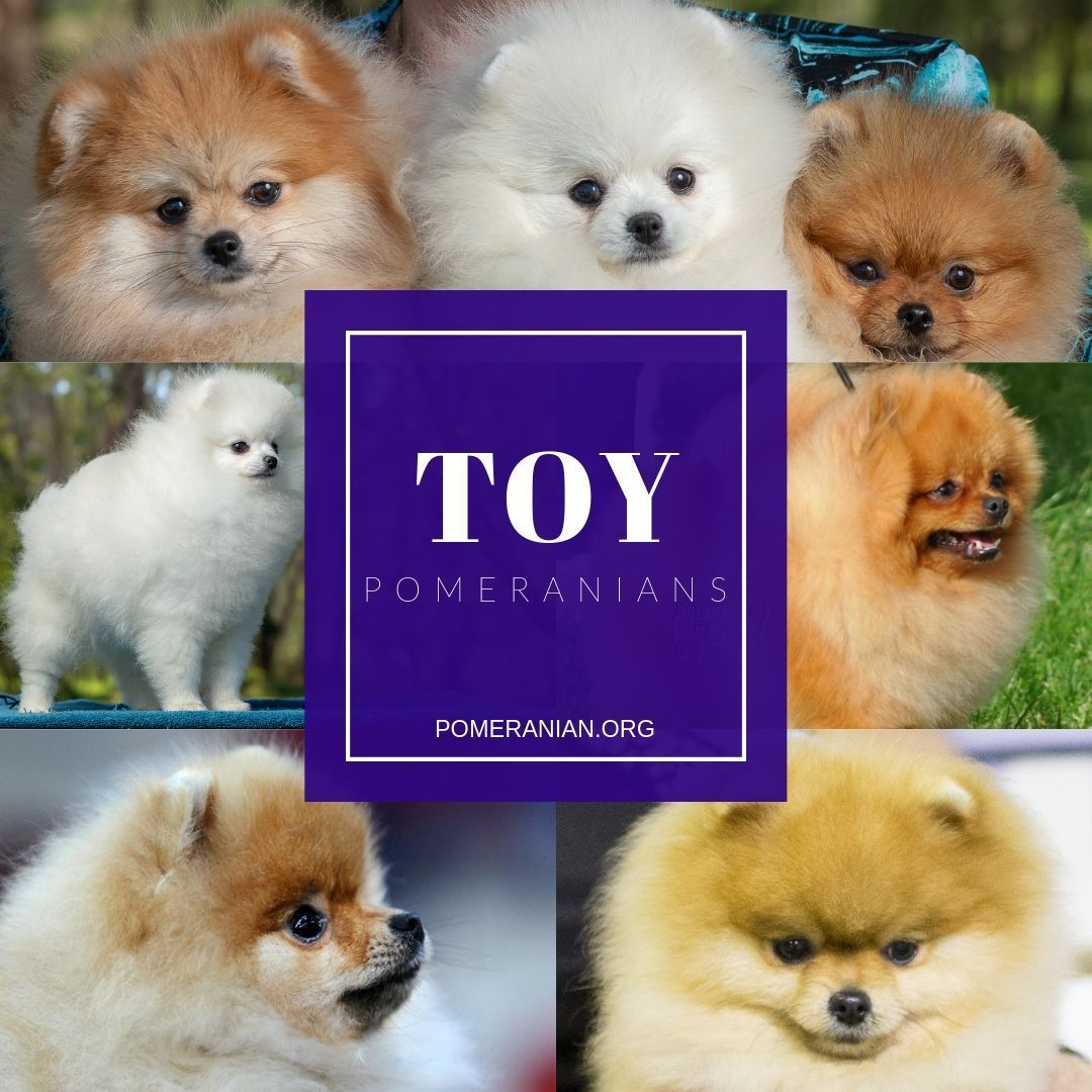 Toy Pomeranian Info Accurate Toy Size Pomeranian Facts All About