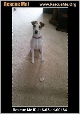 Ohio Jack Russell Rescue Adoptions Rescueme Org Jack Russell Post Animal Jack Russell Dogs