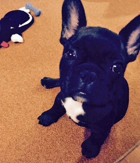 Larry The French Bulldog Bulldog French Bulldog Cute Animals
