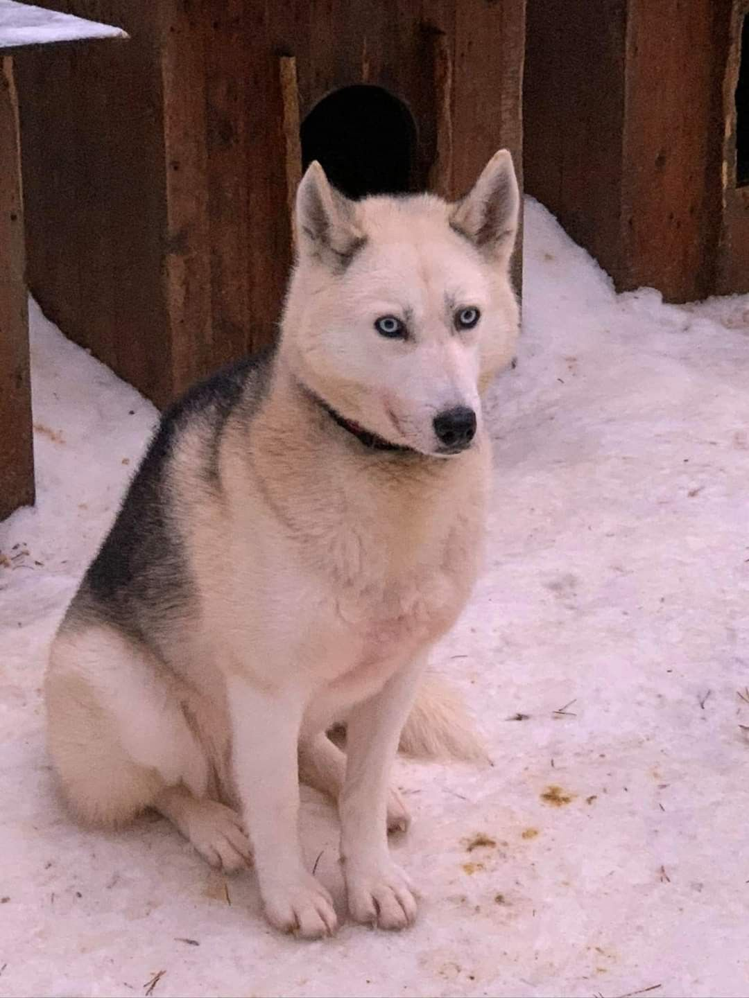 A Wolf Dog In The Snow In Finland In 2020