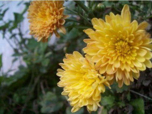 Amazon Com Yellow Chrysanthemum Morifolium Flower Seeds Chrysanthemum Morifolium Yellow Chrysanthemum Flower Seeds
