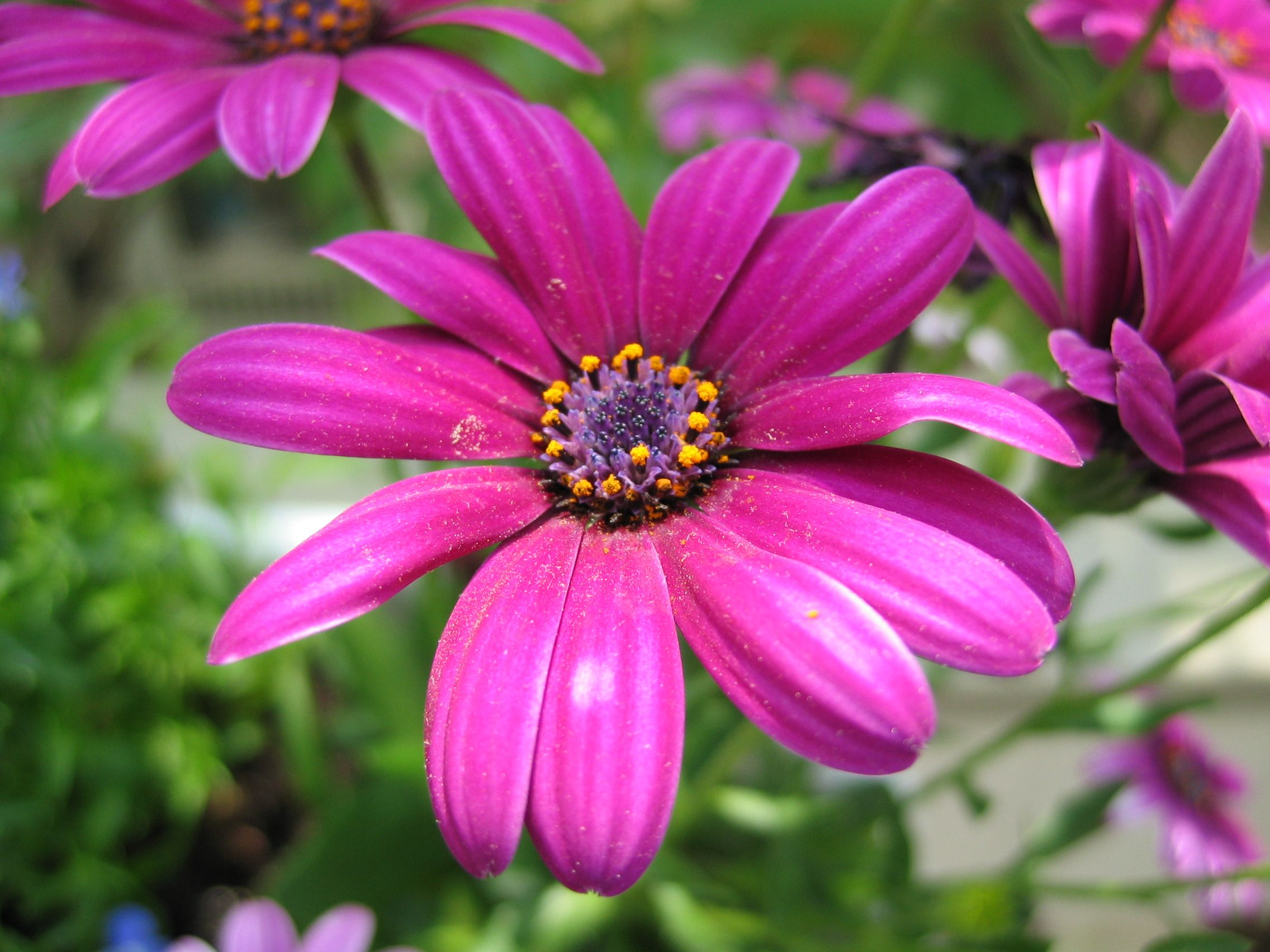 From My Yard Osteospermum The African Daisy Cape Daisy Spaanse Plants Flowers Daisy