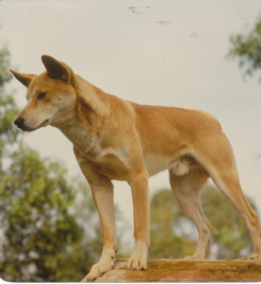 Kimba and Minki in 2020 Dingo, Dog training, Cattle dog