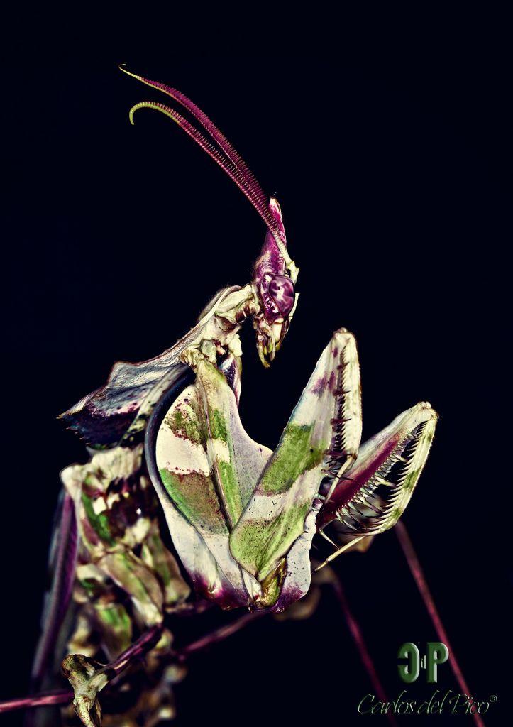 Idolomantis Diabolica Bugs Insects Praying Mantis Beautiful Bugs
