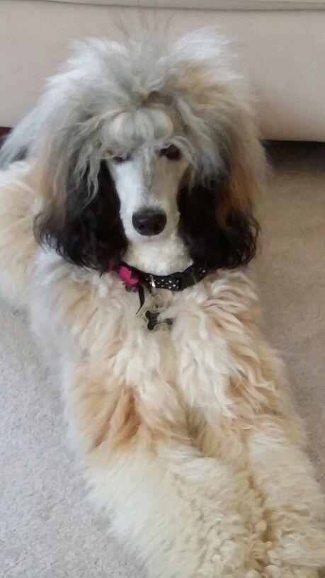 Miss Pippa Sable Standard Poodle Poodle Poodle Dog Standard