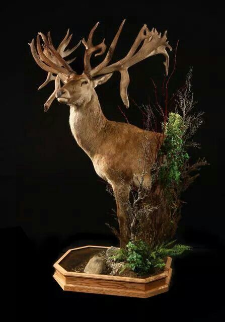 Red stag   Wildlife Gallery in 2019   Taxidermy, Deer ...