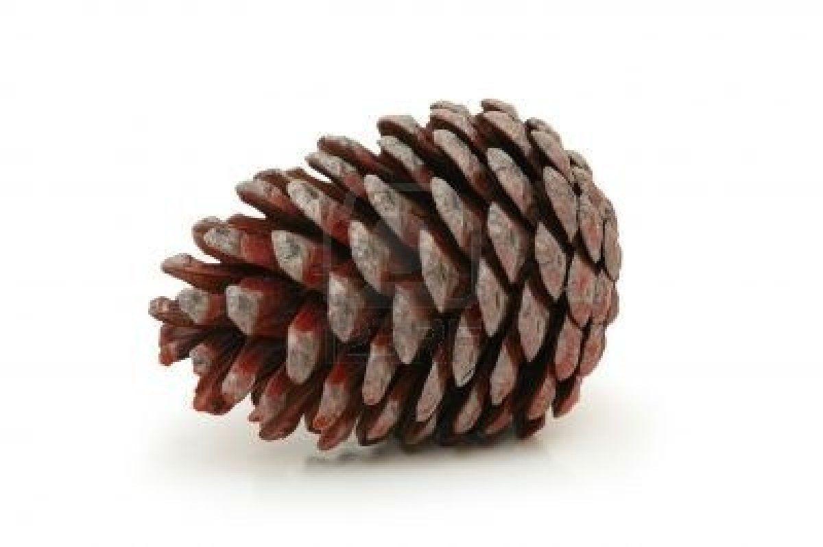 pinecone pomme de pin ou pigne de pin pinecone. Black Bedroom Furniture Sets. Home Design Ideas