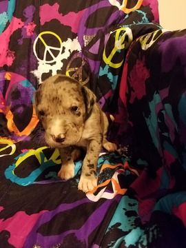Litter Of 5 Great Dane Puppies For Sale In Deer Lodge Mt Adn