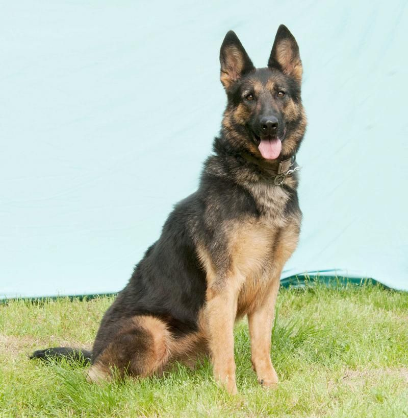 Meet Coco, a Petfinder adoptable German Shepherd Dog Dog