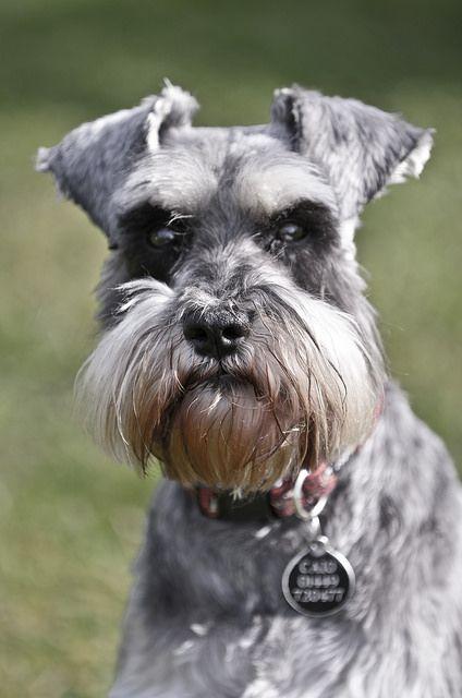 Dogs Edits01 2 Schnauzer Miniature Schnauzer Schnauzer Puppy