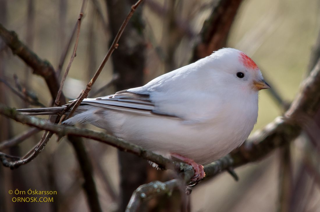 Individuals that are all white with red eyes, beaks and feet are categorised as albinos. They are homozyogous which means that the parents have both carried the same gene, in this instance