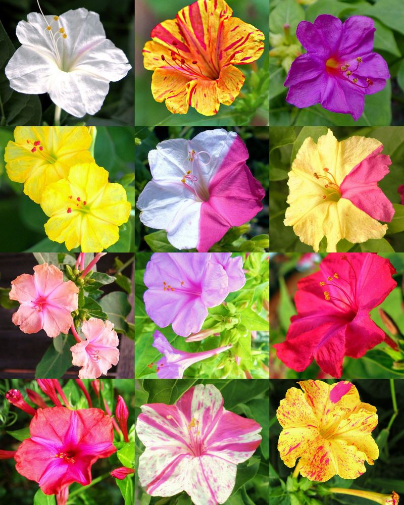 Details about FOUR O'CLOCK flower MIX mirabilis jalapa
