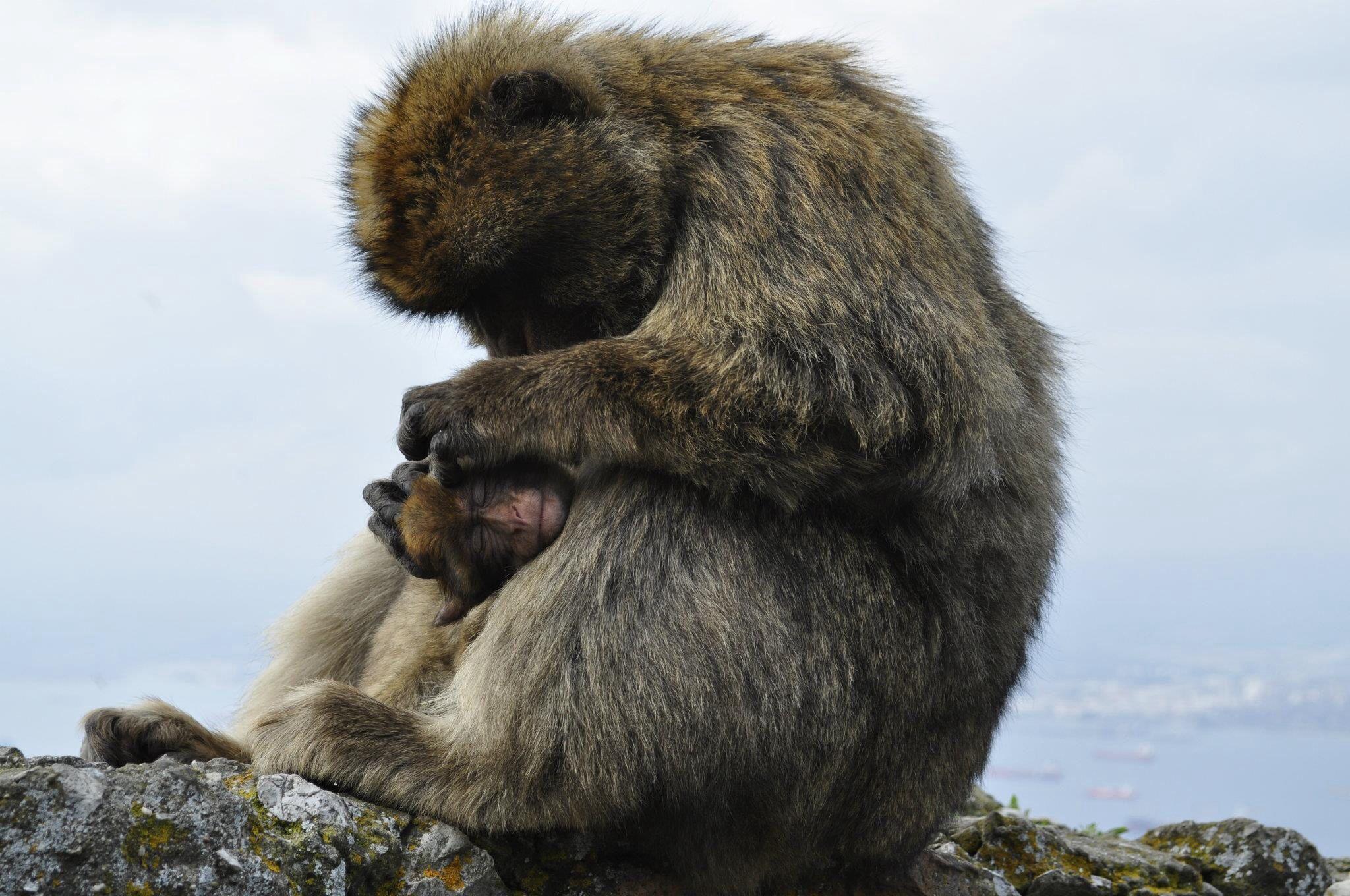 Monkeys at Gibraltar   Spain travel, Brown bear, Spain