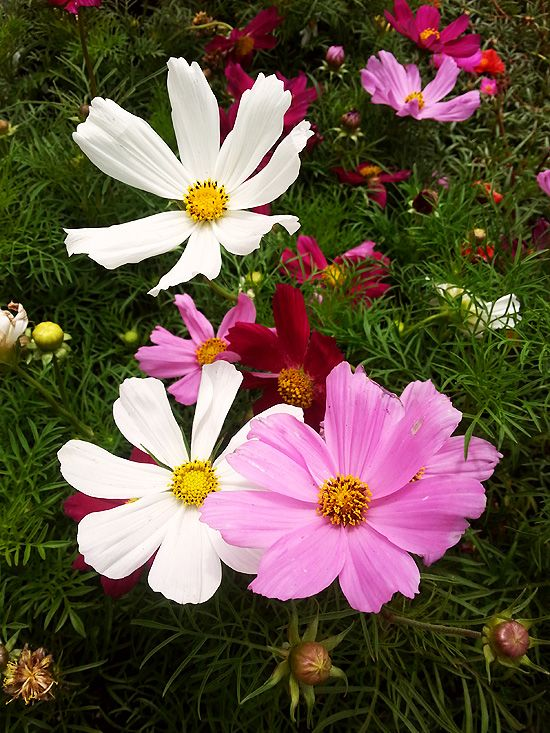 Second Season Sowing Mid Summer Planting For Fall Harvests Cosmos Flowers Fake Flowers Plants