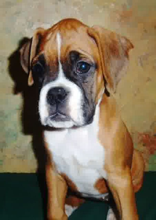 Boxer Puppies For Sale In Wisconsin Cute Puppies Boxers Puppies