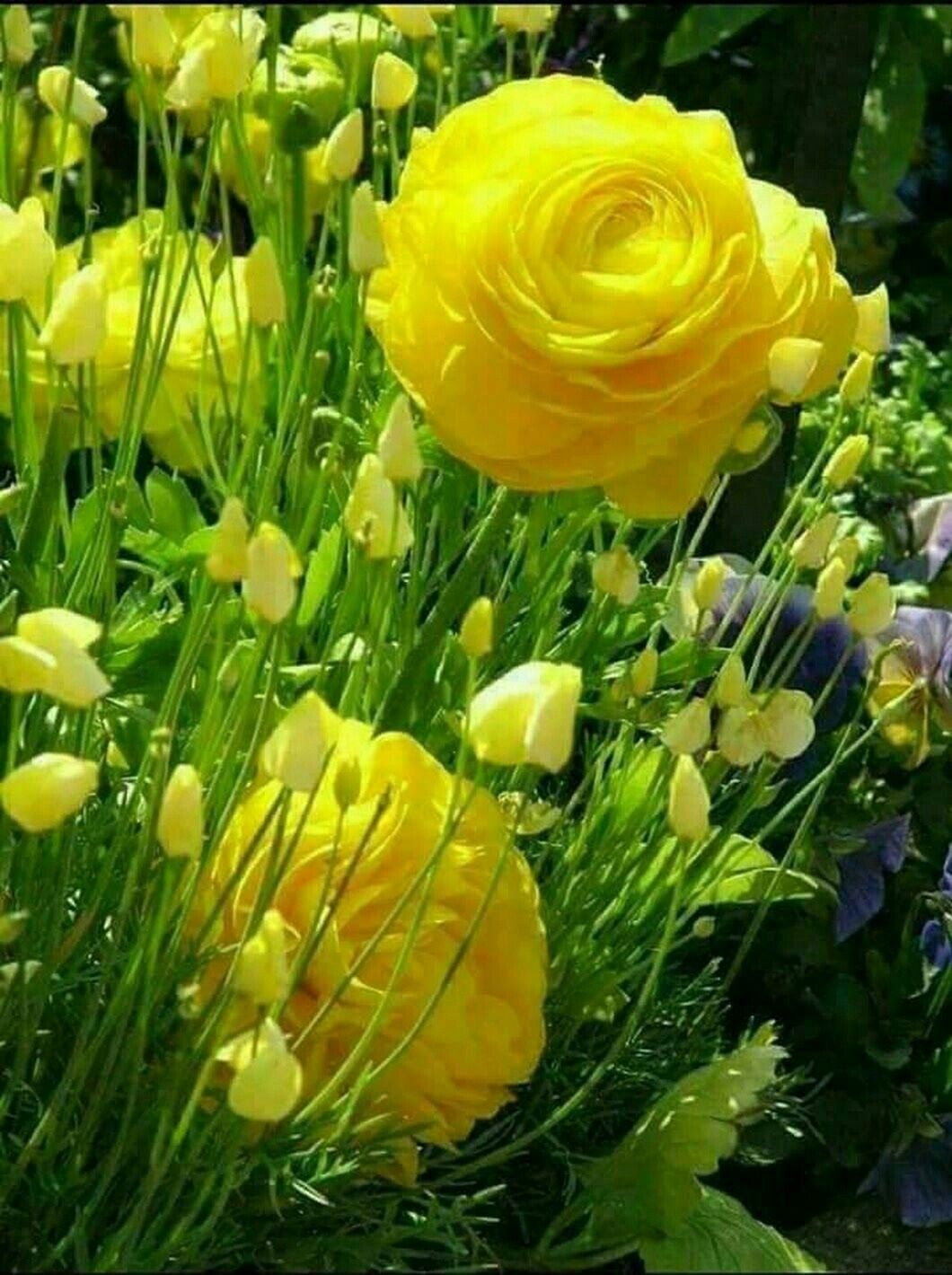 Ranunculus pinterest flowers beautiful flowers and ranunculus flowers nature pretty flowers yellow roses flower pictures orchids types mightylinksfo