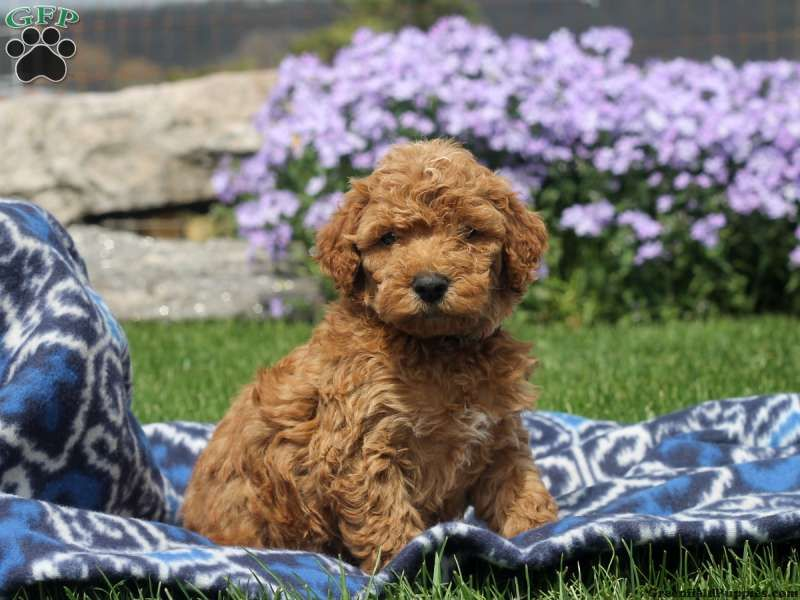 Chloe Whoodle Miniature Puppy For Sale In Pennsylvania