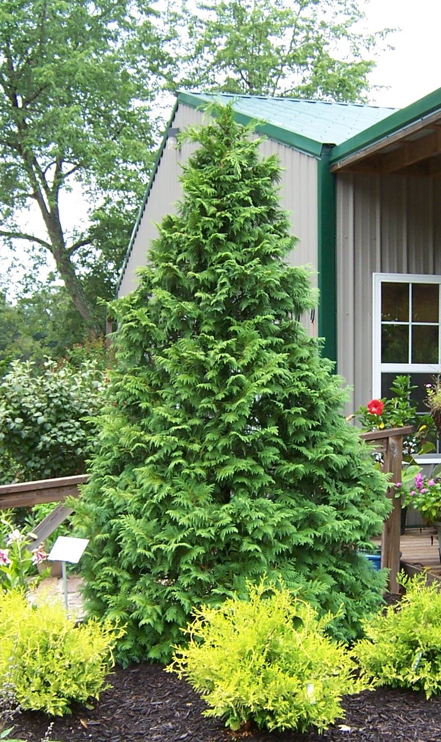 Soft Serve False Cypress Is A Beautiful Evergreen With Easy To Touch Branches It Will