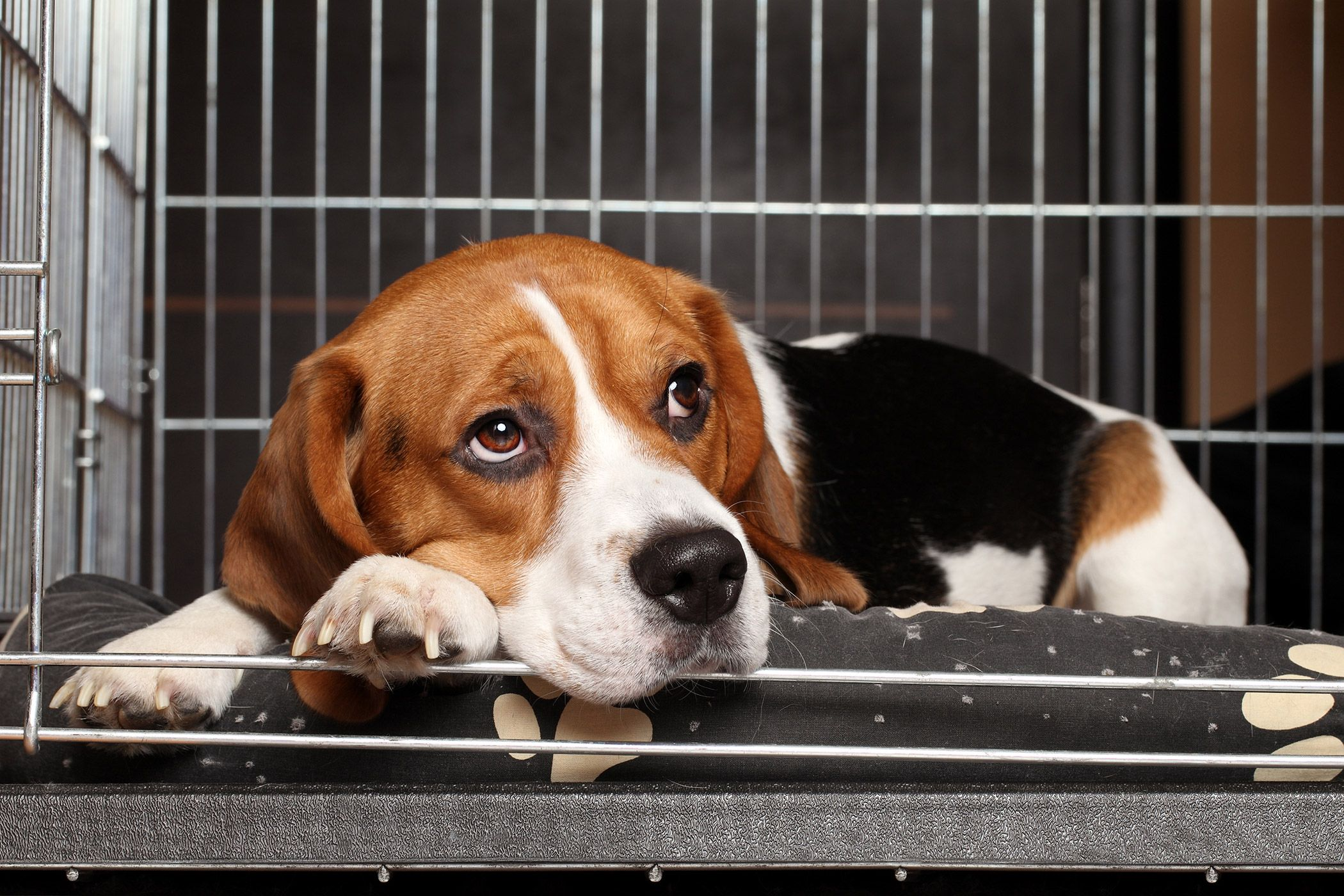 Kennel Cough in Dogs - Overview, Symptoms, Causes, Diagnosis, Treatment, Recovery & Management