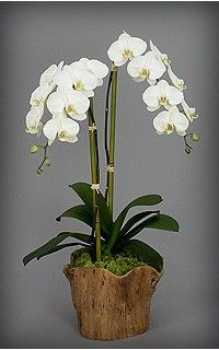 Orchids Nyc Same Day Flower Delivery In New York Orchid Diva Orchids Orchid Plants Orchid Arrangements