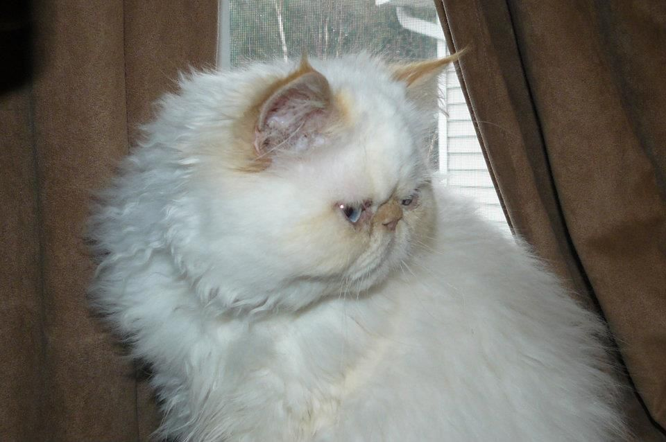 Luca 7 Month Old Flame Point Himalayan