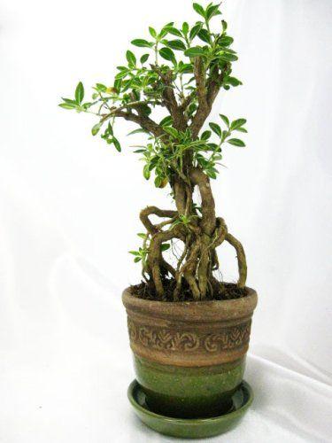 9greenbox Serrisa Snow Rose Indoor Bonsai Tree Holiday Adds