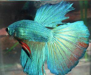 Delta Tail Betta Fish Beautiful+Betta+Fish+f...
