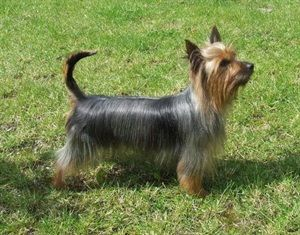 Silky Terrier Origin Australia Colors Blue And Tan Size Small Type Of Owner Experienced Exerci Toy Dog Breeds Silky Terrier Australian Silky Terrier
