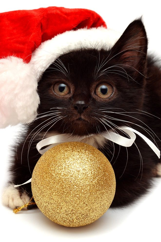Cat Christmas.The 10 Cutest Christmas Cats Ever Christmas Cats