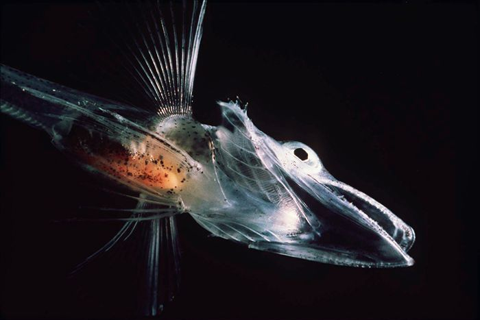 Antarctic icefish have no hemoglobin, an adaptation to the oxygen-rich waters of the Southern Ocean.