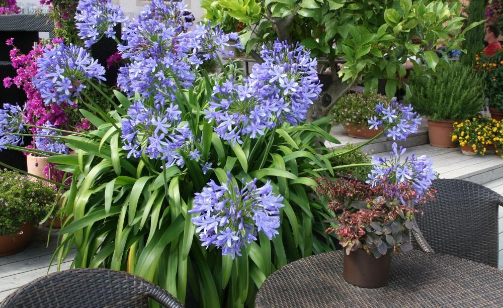 Agapanthus: Pflege Und Überwinterung | Oder Sommer Blumen Pflanzen Pflege