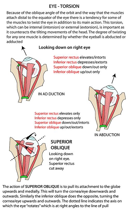 Instant Anatomy - Head and Neck - Areas/Organs - Eye & orbit ...