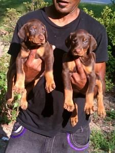 Superior Warlock Doberman Pinscher Pups Warlock Doberman Cute