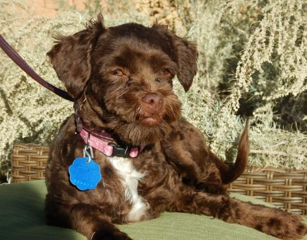 Adopt Misty On Shih Tzu Mix Shih Tzu Poodle