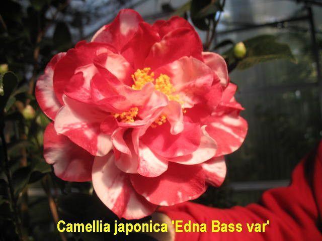 Camellia Japonica Varieties And Images Japonica Camellia Flowers