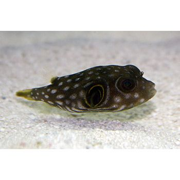 Stars And Stripes Puffer Saltwater Aquarium Fish Fish Pet