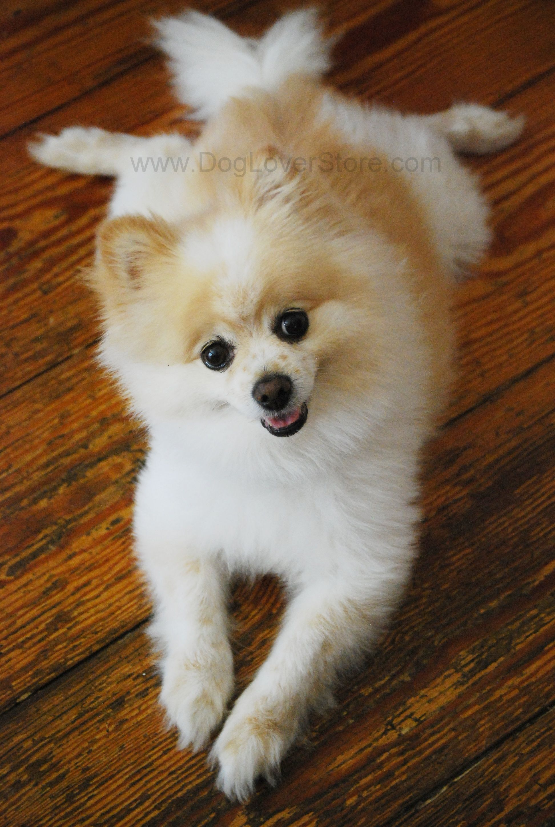 Best Shot Of The Day Pomeranian Dog Mascot Smile Pose Cute